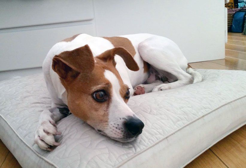 Italian Greyhound Jack Russell Mix Google Search Animals