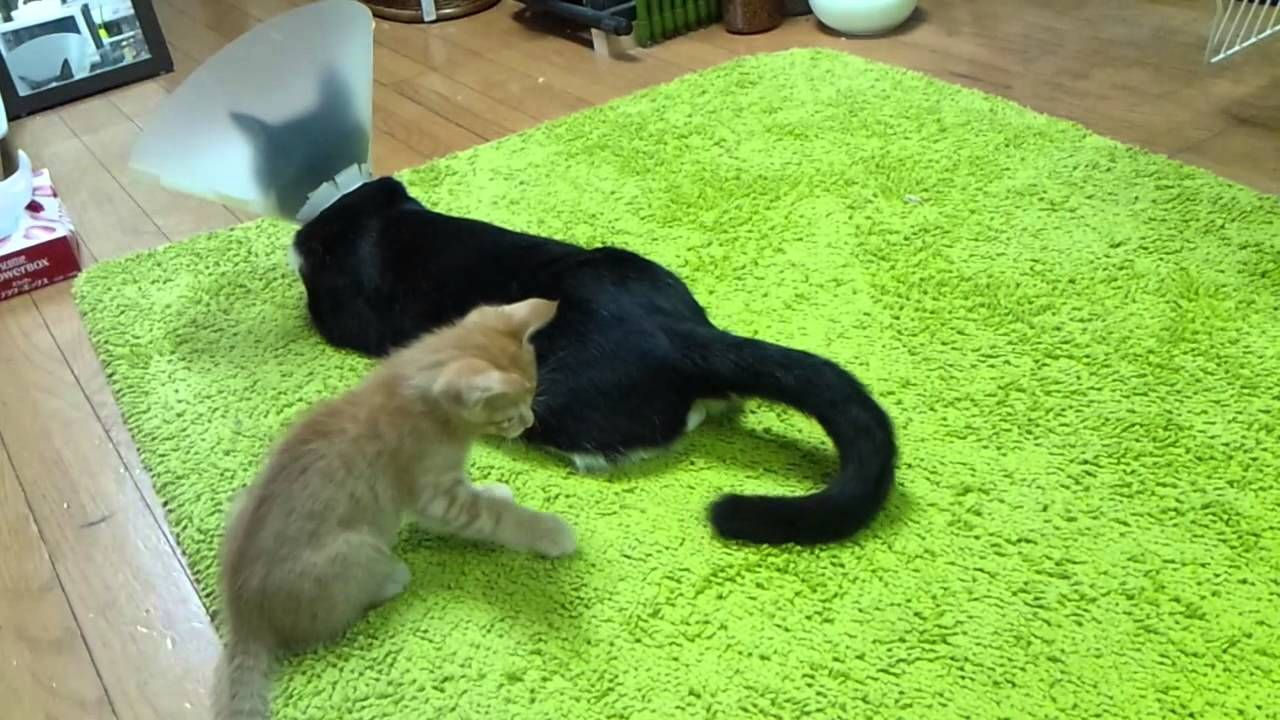 Kitten Attacks The Tail Of A Very Patient Cat Wearing A Cone Of Shame Cat Tail Kittens Playing Kittens Funny