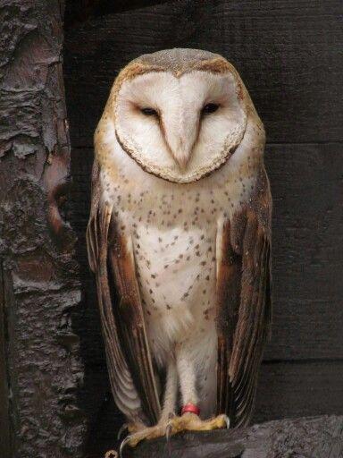African Barn Owl. Scottish Owl Center.