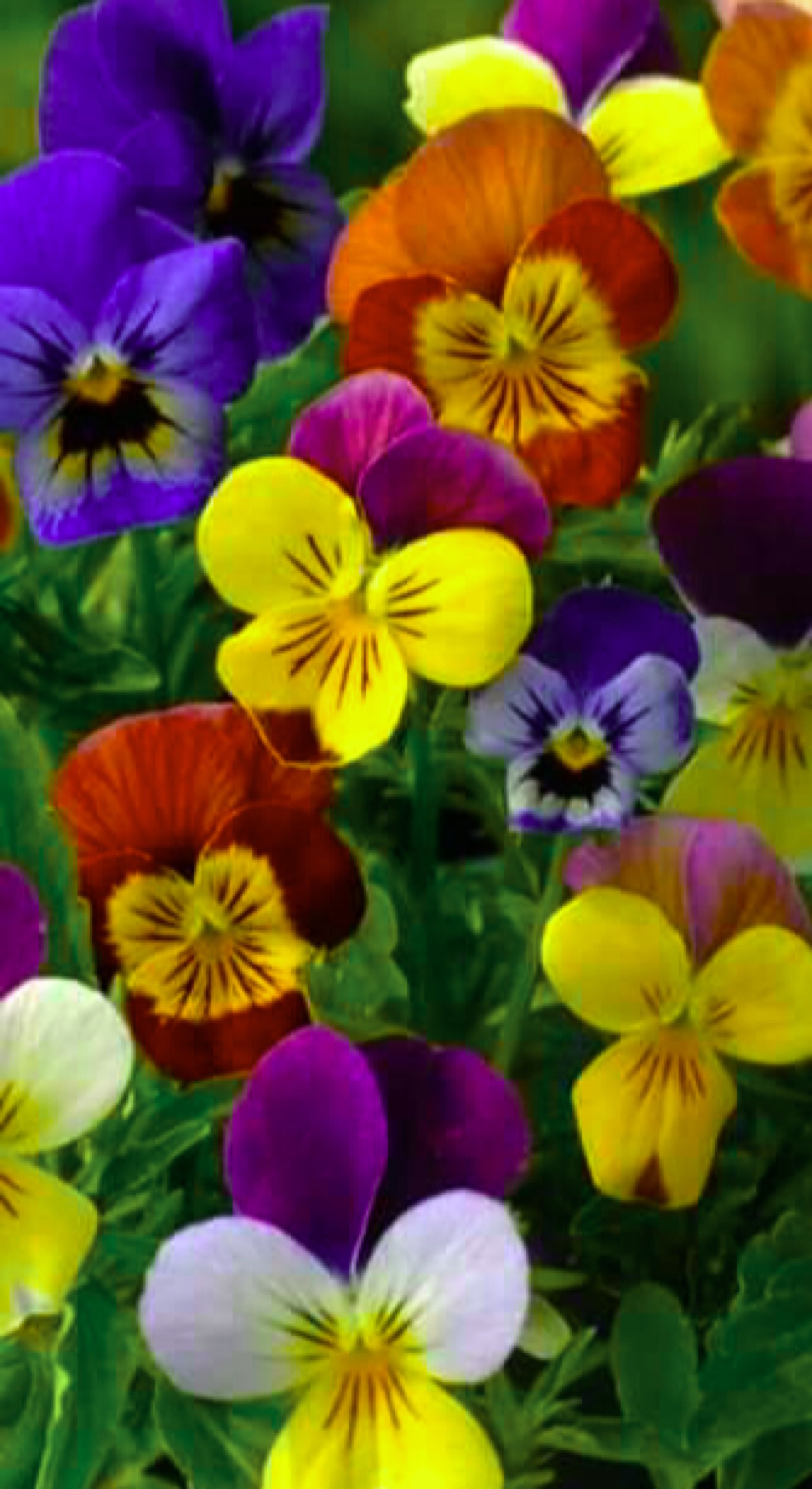 Violets And Pansies Are Among The Most Beautiful Flowers In The