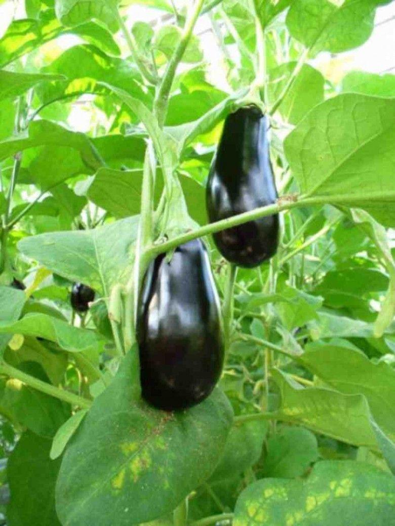 Баклажаны в теплице - 89 фото идей по увеличению урожая ...