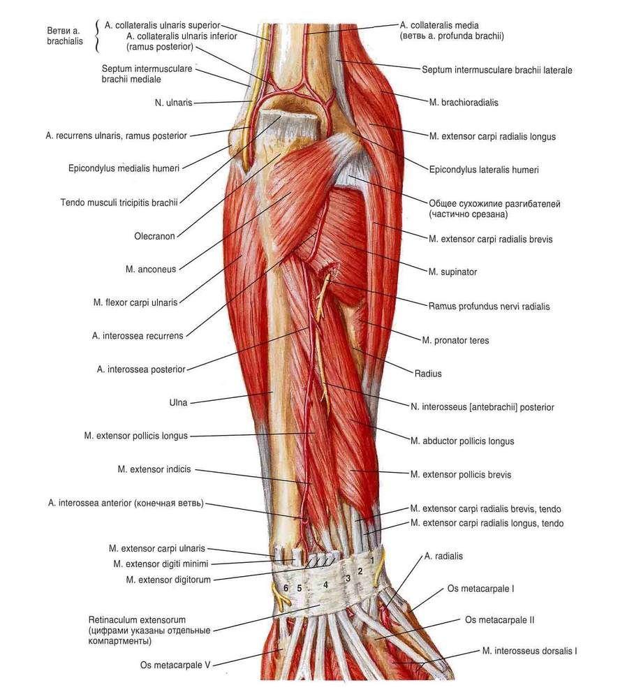Triceps, Brachioradialis, Anconeus, Supinator, Pronator teres ...