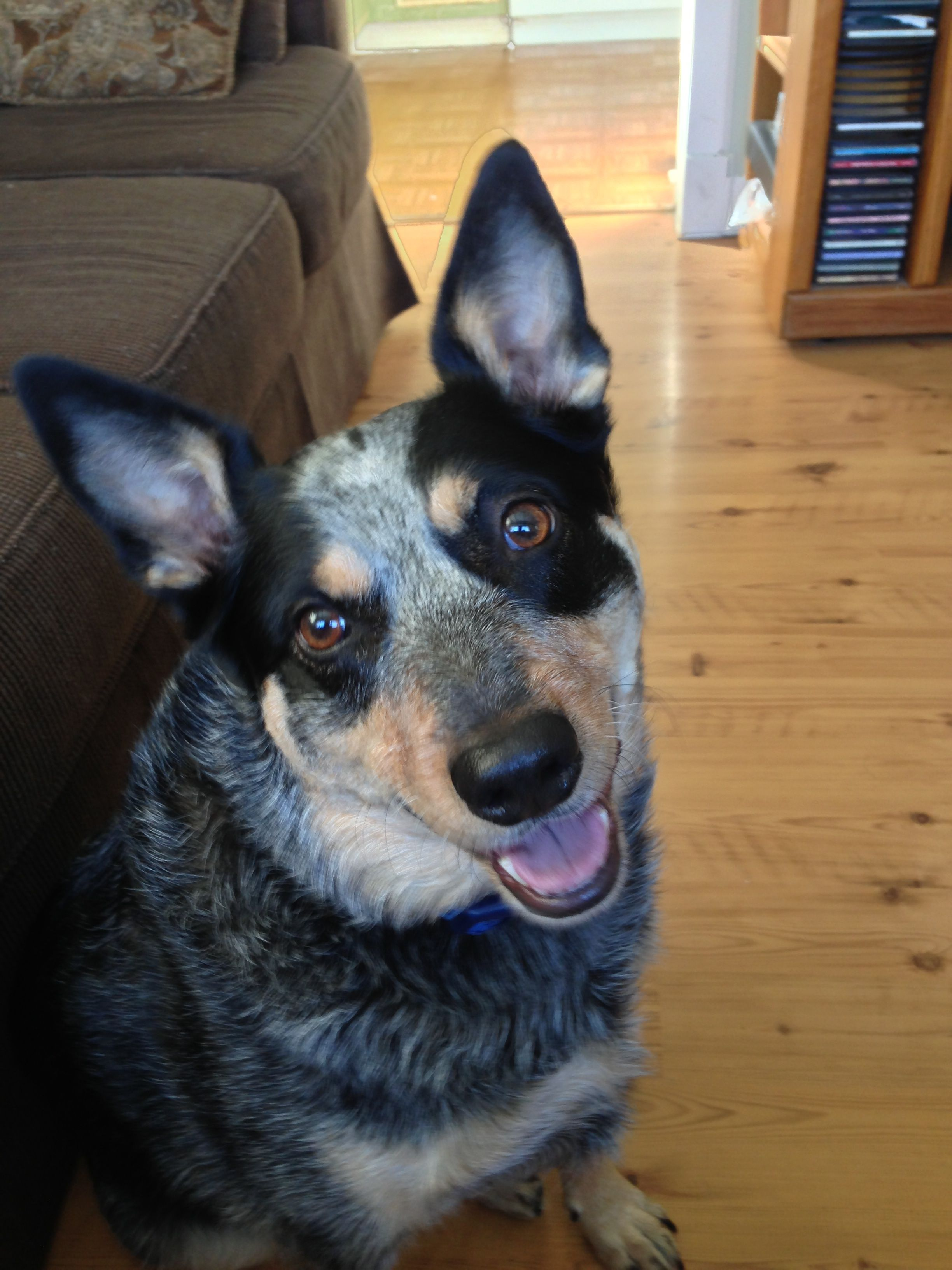 Lucy - Australian cattle dog.  Did you just say go play ball?