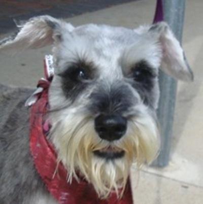 Adopt Paisley 1168 On Schnauzer Schnauzer Dogs Miniature Schnauzer Rescue