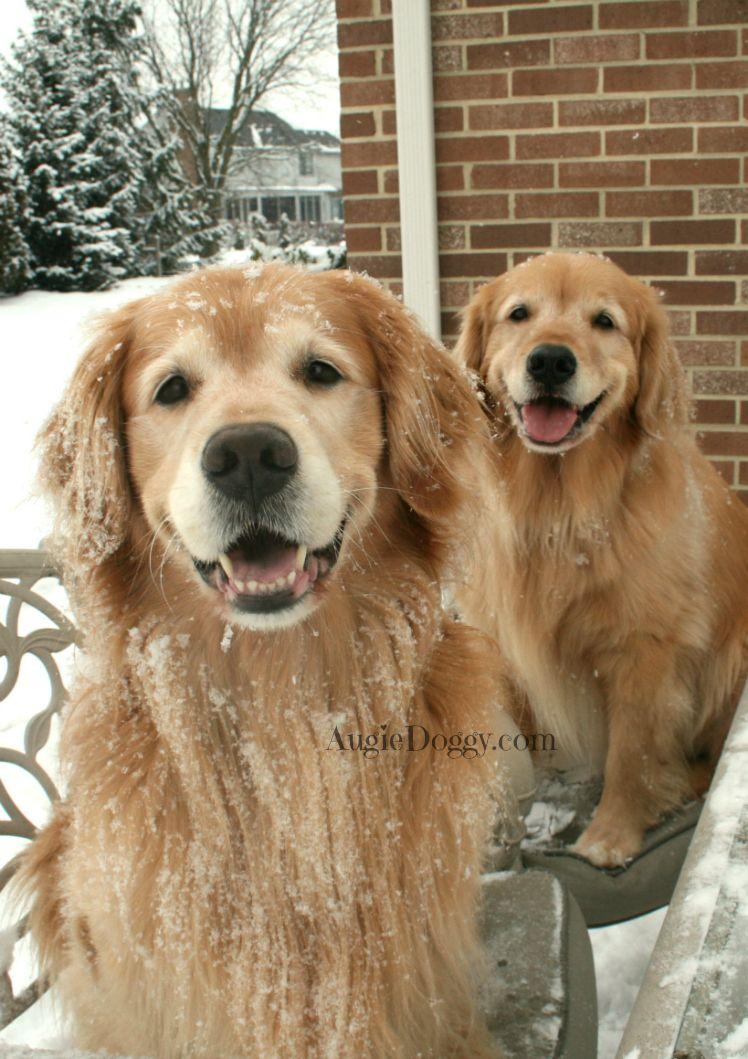 We love the snow! goldenretriever Golden retriever