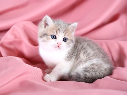Exotic Short Hair Teacup Kitten CUTE AS A KITTEN