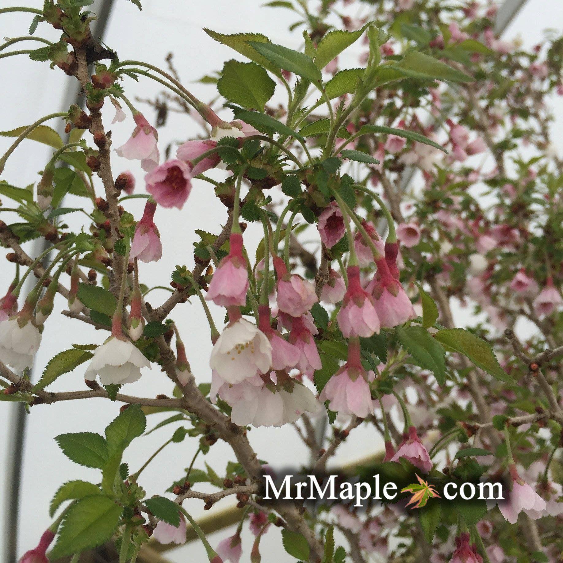 Prunus Incisa Kojo No Mai Twisting Fuji Cherry Tree Cherry Tree Flowering Cherry Tree Prunus