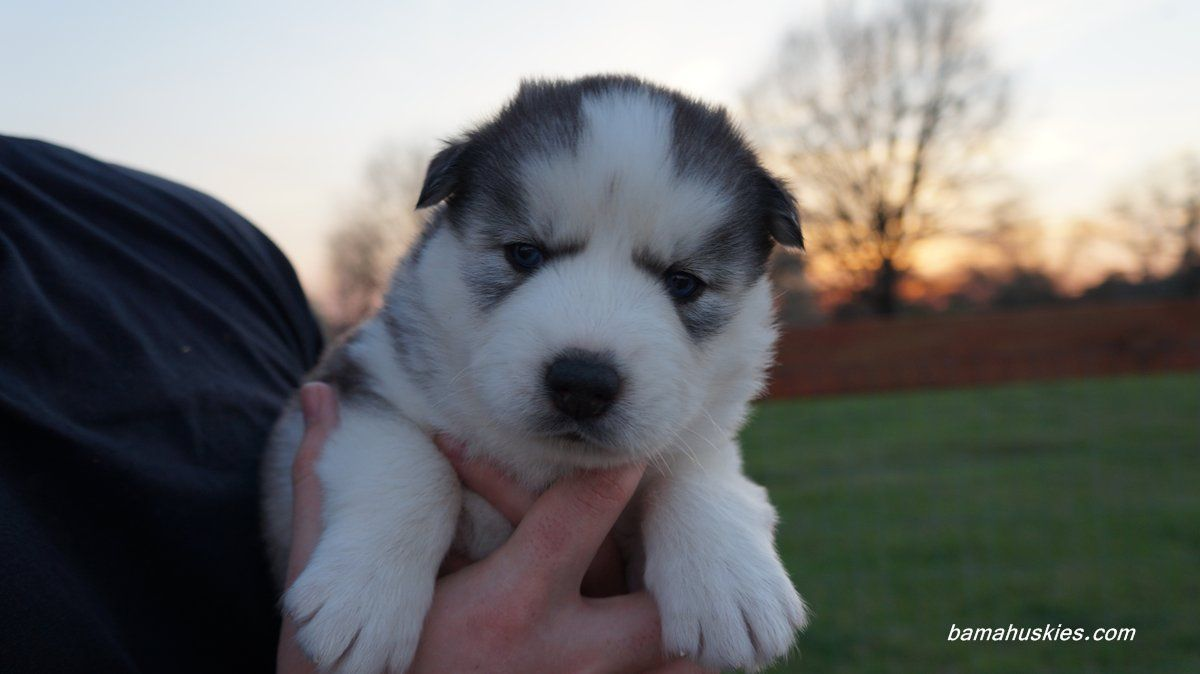 Husky Puppies For Sale Alabama Husky Puppy Husky Puppies For