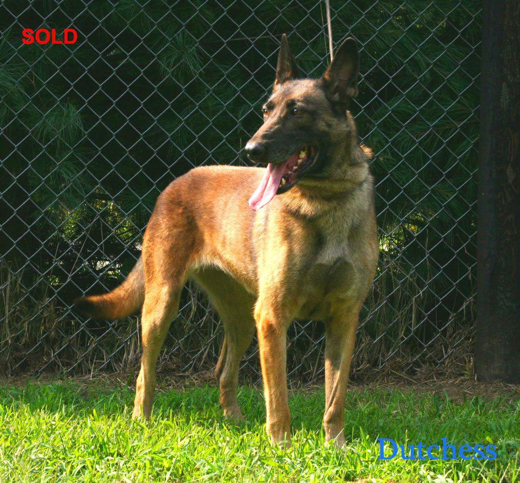 Belgian Shepherd Dog (Malinois) | RAZA DE PERROS/ DOG ...