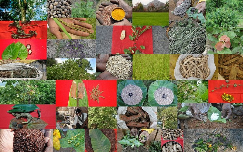 Medicinal Rice based Tribal Medicines for Diabetes Complications and Metabolic Disorders (TH Group-803) from Pankaj Oudhia's Medicinal Plant Database