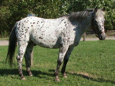 pony of the americas. pony of the americas ponies america poa r