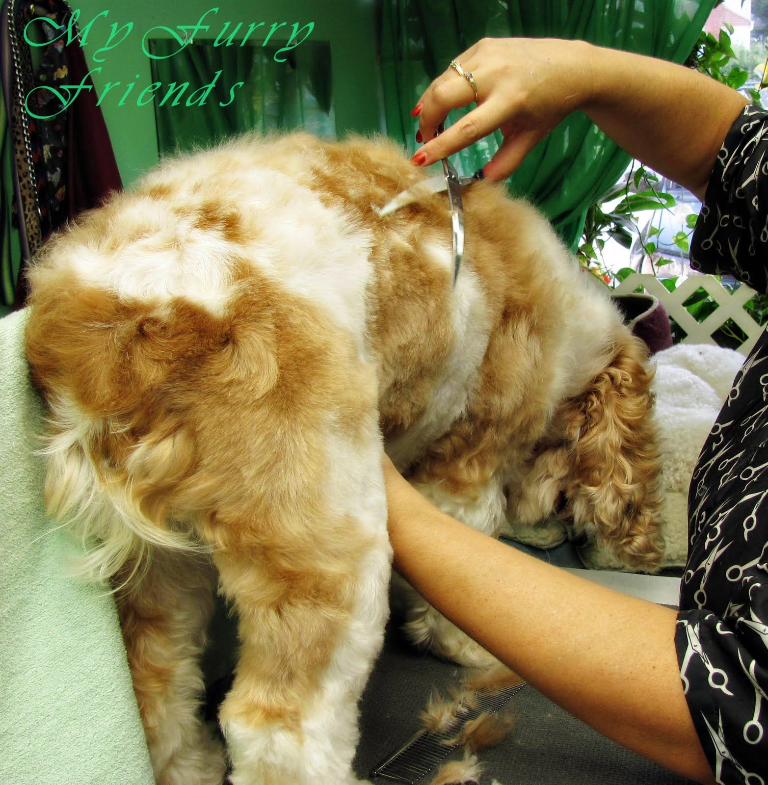 Pet Grooming: The Good, The Bad, & The Furry: Puppy Cut...on a Cocker!