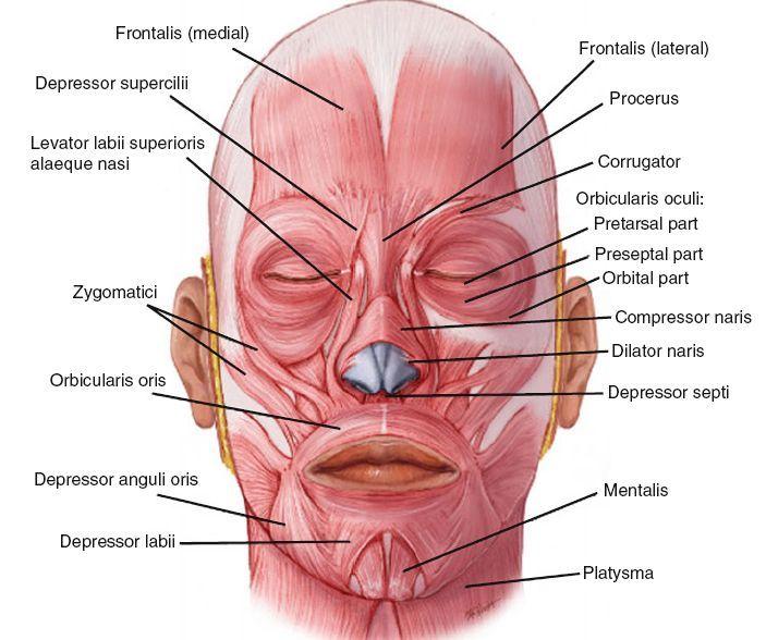 Human Body External Ear Anatomy Anatomy Ear External Yz