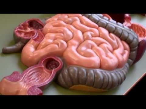 Anatomy and Physiology 2 anatomy model walk through for digestive ...