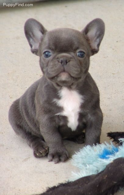 Pin By Hope Taylor On Puppies French Bulldog Puppies Blue