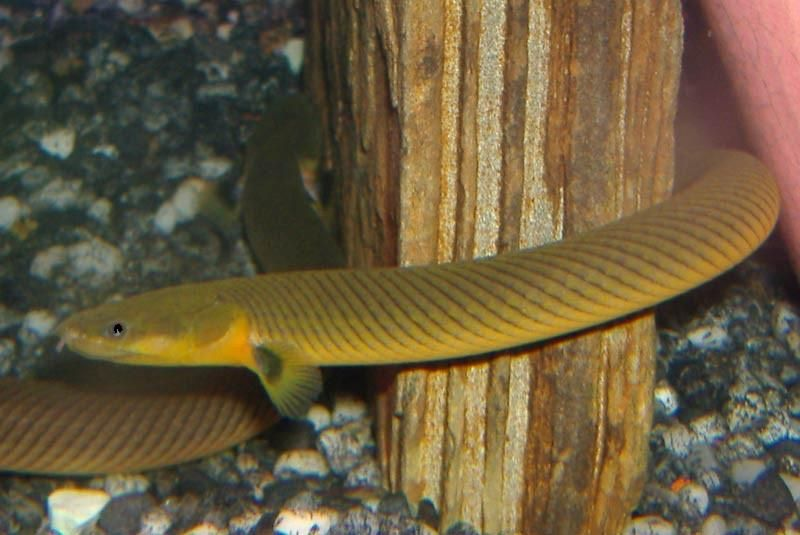 Rope Fish / Reed Fish | AquariumFishSale com - Live Tropical Fish
