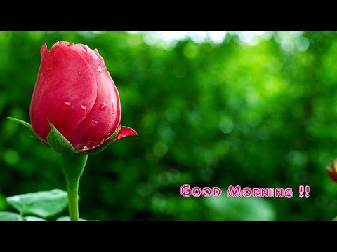 Good Morning Wishes Whatsapp Video Greetings Animation Messages Quotes Download Y Flower Images Wallpapers Rose Flower Wallpaper Beautiful Flowers Wallpapers