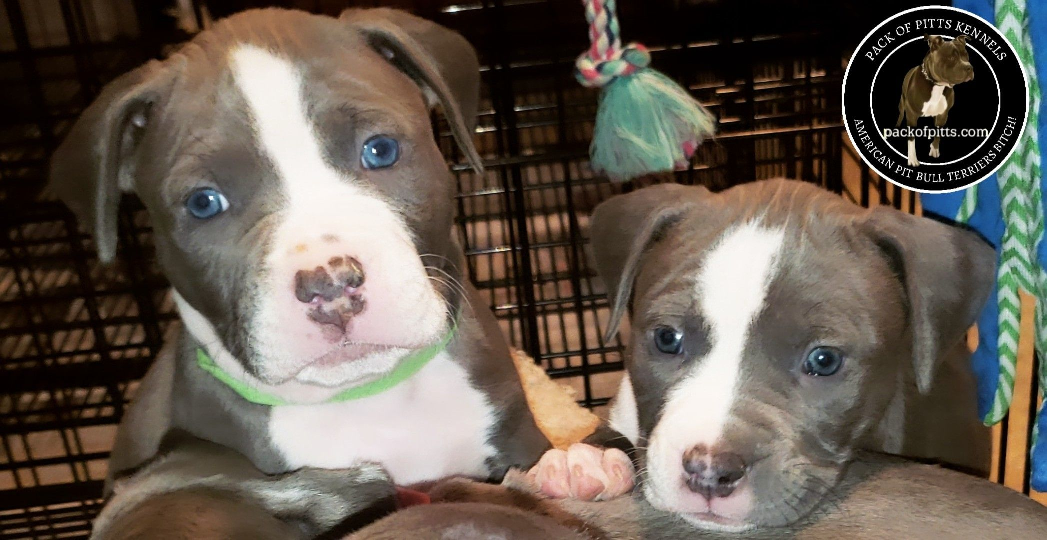 Pack blues pack of pitts kennels buffalo new york and