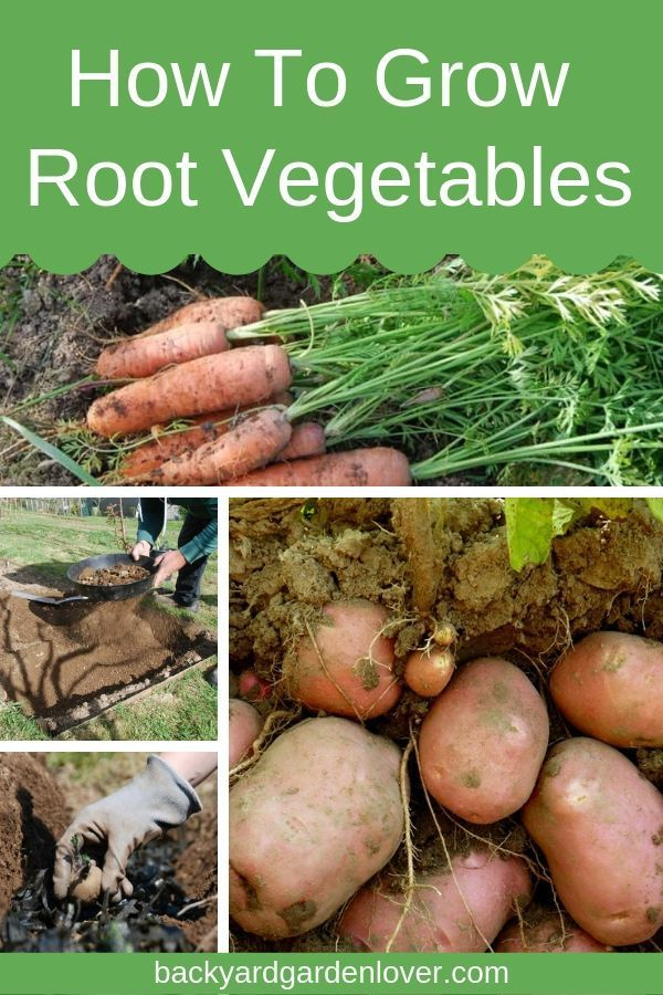 Photo of How To Grow Root Crops Successfully