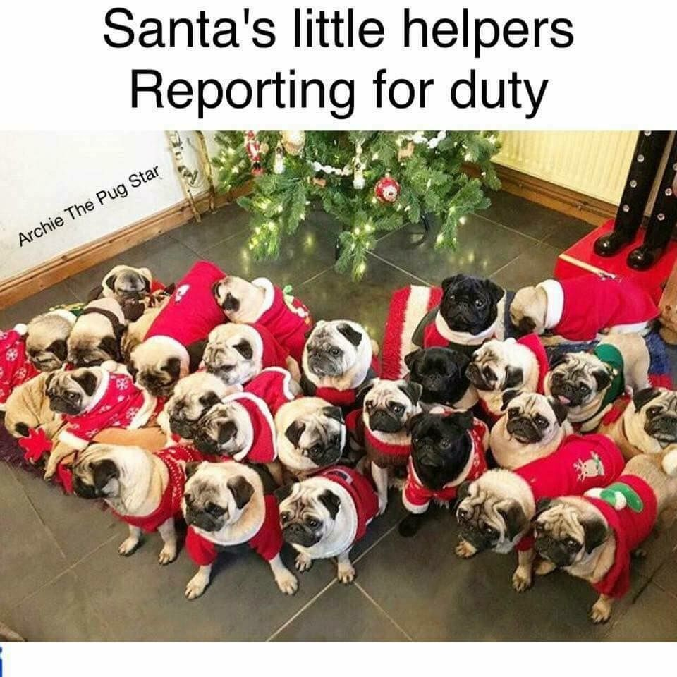 Santas Helpers Pugs Pinterest Pug Life Dog And Animal - Dog obsessed with stuffed santa toy gets to meet her idol in real life