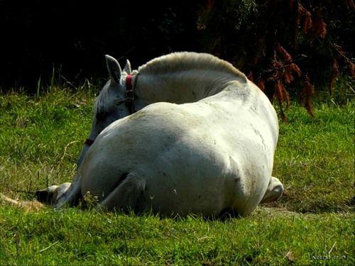 Siberian horse resting in the sun