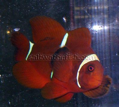 Gold Stripe Maroon Saltwater Fish Clownfish Gold Stripes Clown Fish Saltwater Tank