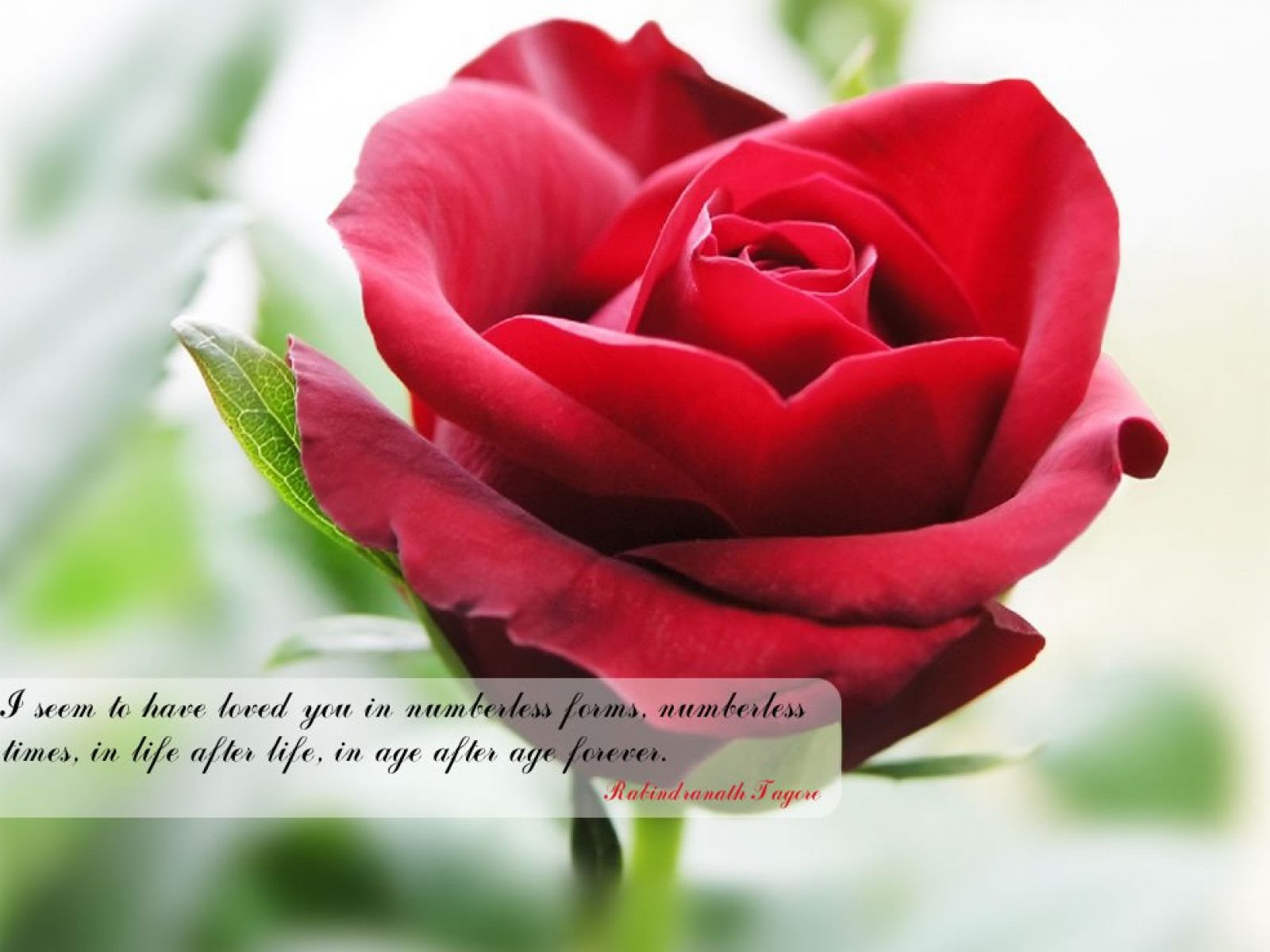 Red flower with quotes Beautiful red roses, Most