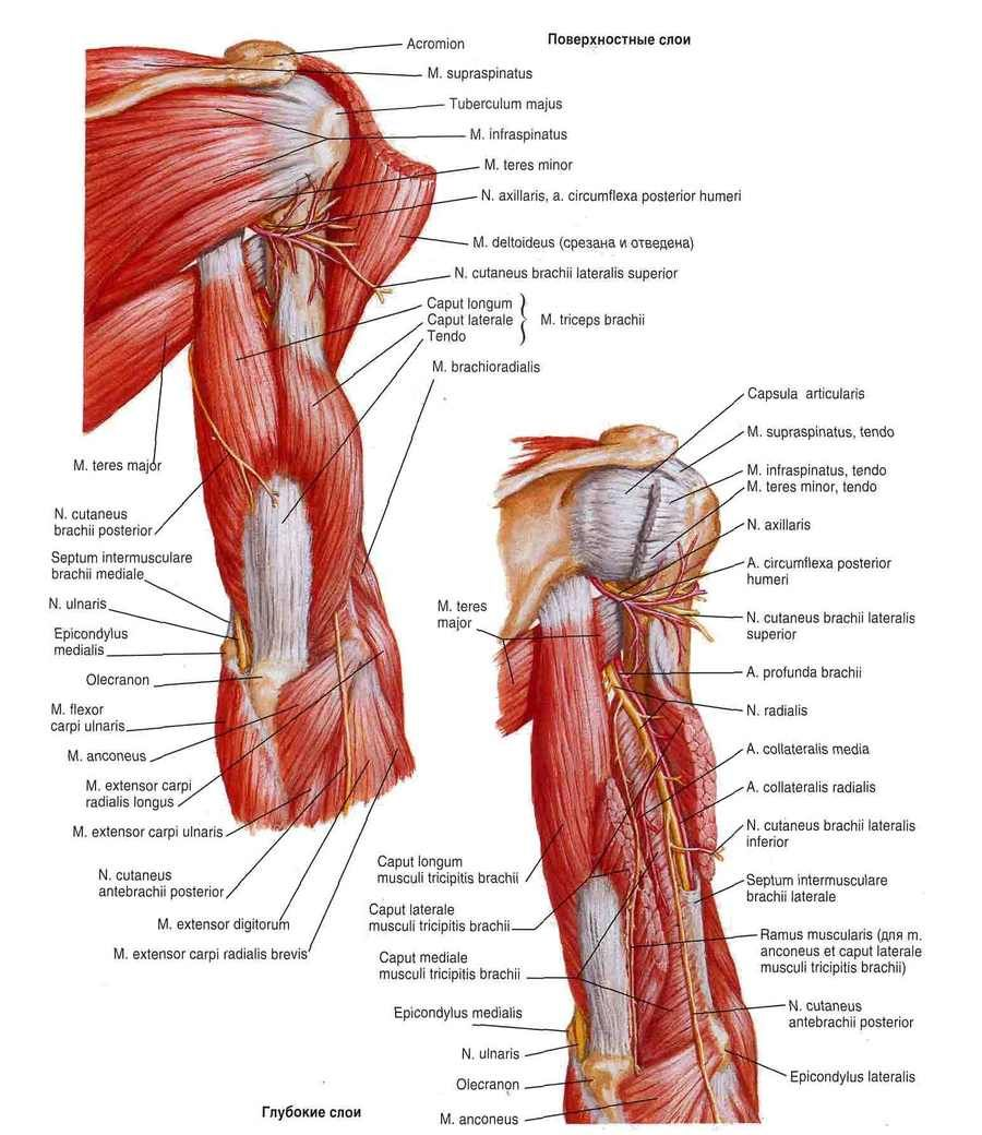 Biceps Brachii Function - Health, Medicine and Anatomy Reference ...