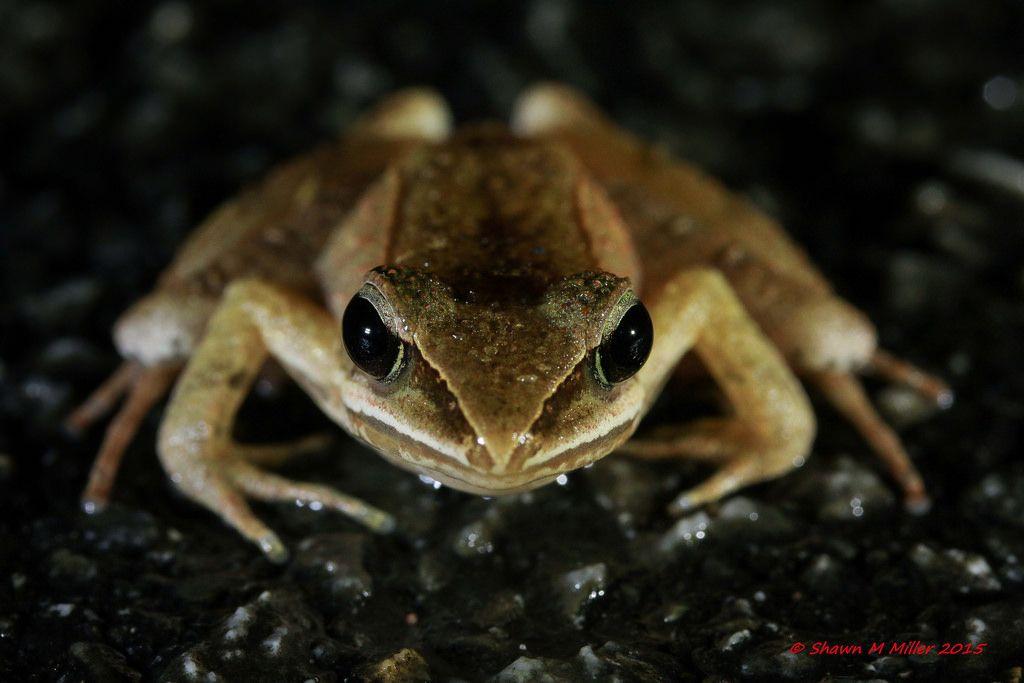 Ryukyu brown frog -Red list