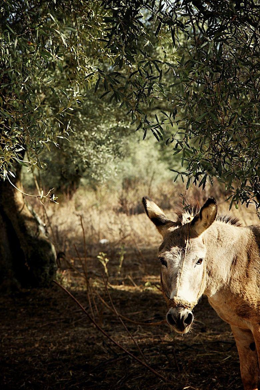 Olive Tree Grove + Donkey + Farm in Greece..Florida idea? | Remodel ...