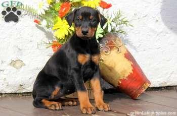 Dianne Doberman Pinscher Puppy For Sale In Narvon Pa Doberman