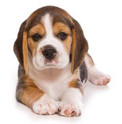 Puppy No Command Training Beagle Puppy Female Dog Names Cute
