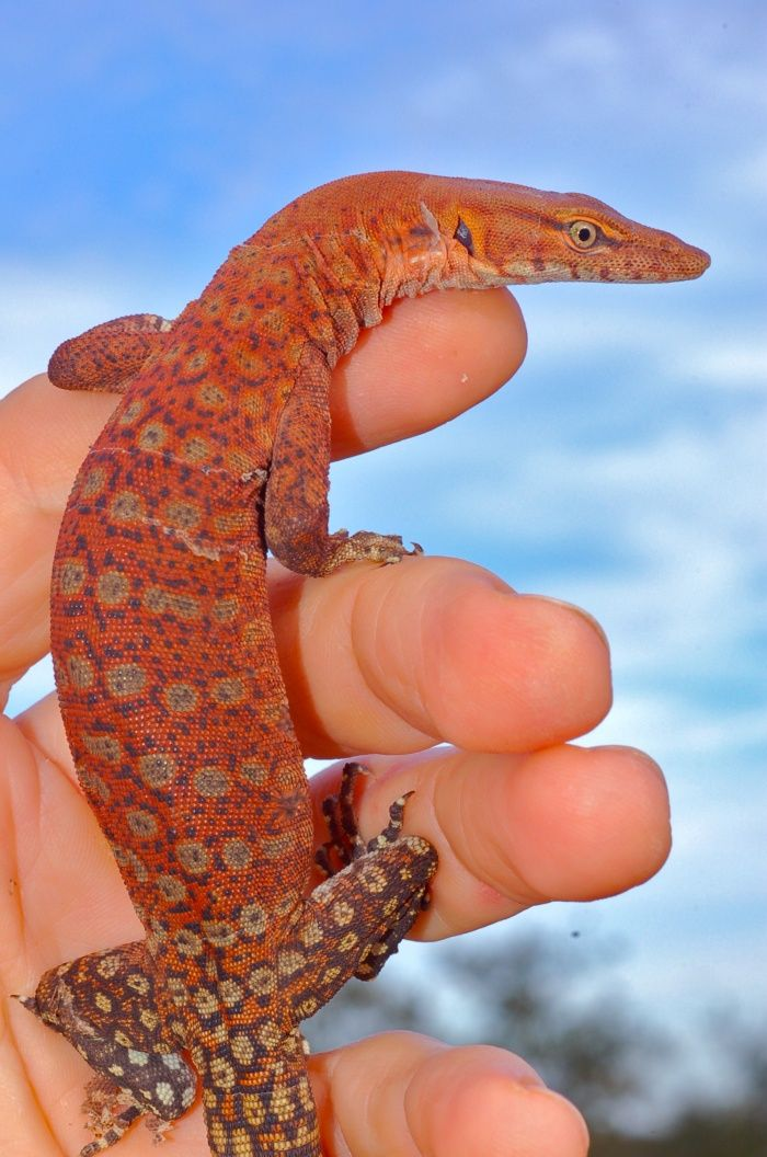 For Sale Pilbara Rock Monitors Faunaclassifieds Monitor Lizard Monitor Rock