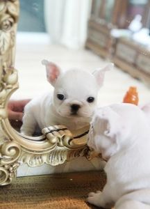 Adorable Amazing Bogie Precious Mini French Bulldog White Male
