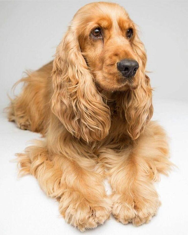 Mon Adresse 235 Commentaire 2 Cockerspaniel Cocker Spaniel Worl 1 Sur Instagram Ganix Ollie Spaniels Olli Spaniel Puppies Dogs Dog Breeds Medium