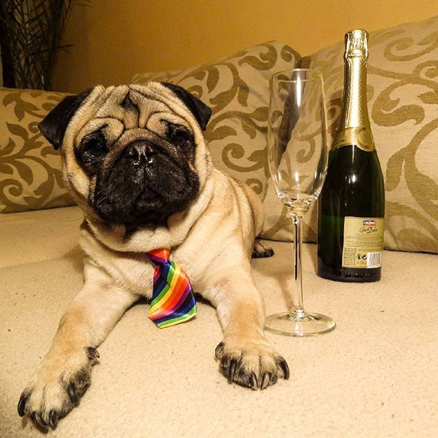 Let The Party Begin Happy New Year Mauricethepug