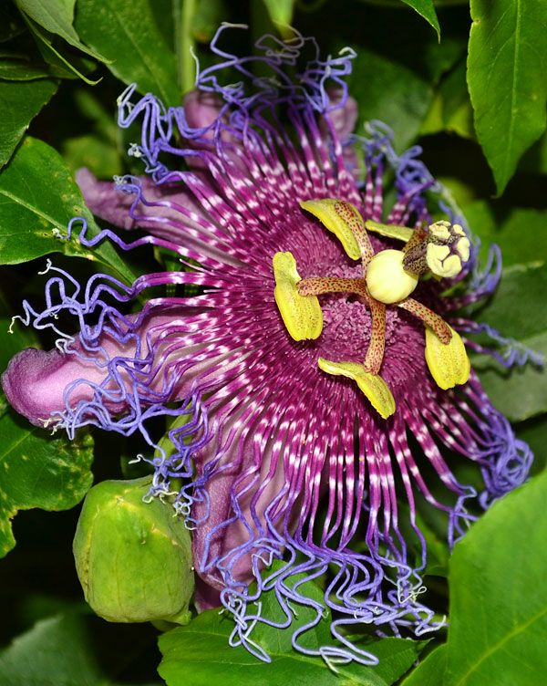 Passion flower growing in our Palm Bay Florida yard
