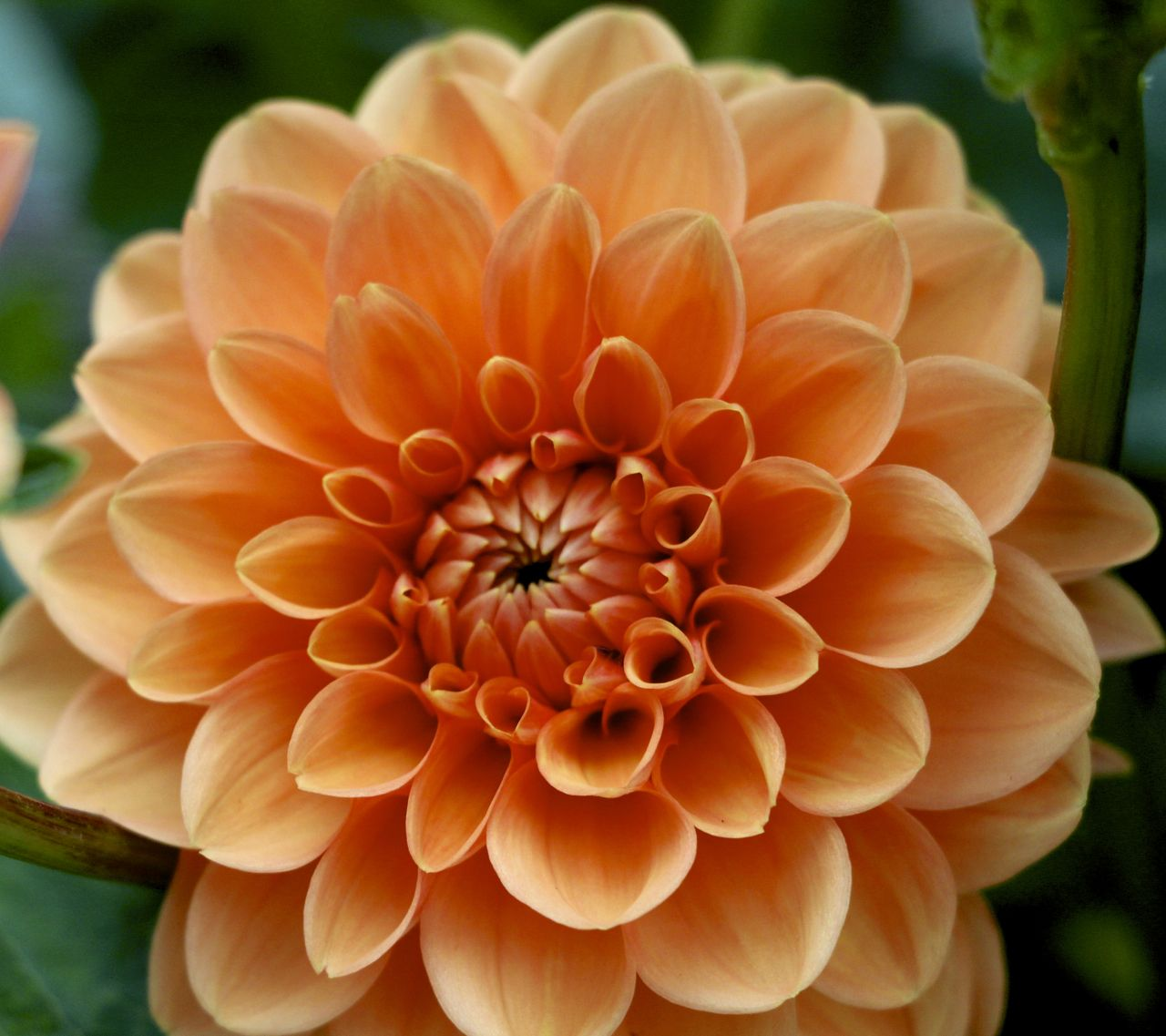 Orange Dahlia In Bloom 82414 Pinterest Dahlia Flower Farm
