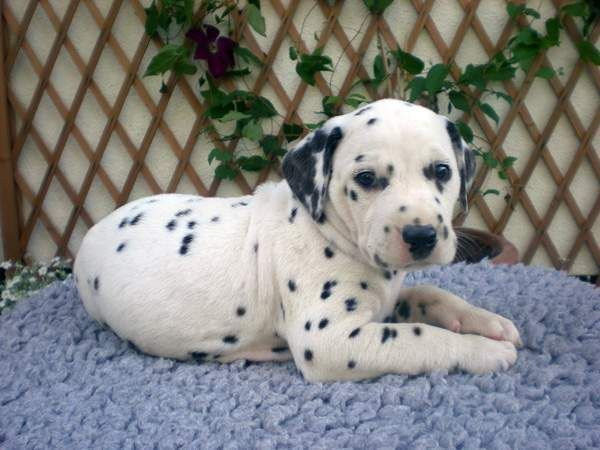 Dalmatian Puppy Dalmatian Breed Dalmatian Puppy Dalmatian Puppies For Sale