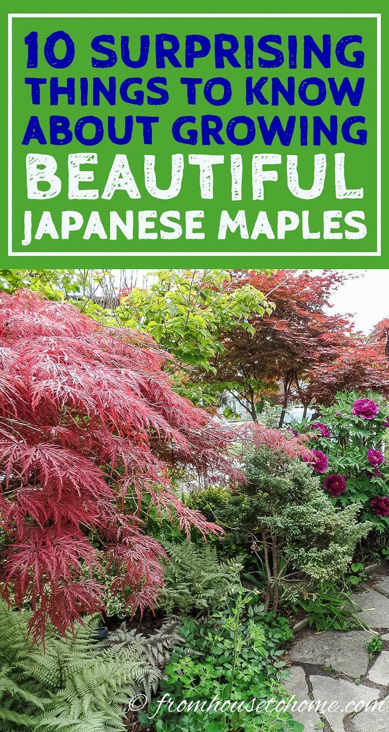 10 Surprising Things About Growing Beautiful Japanese Maples #japanesemaple