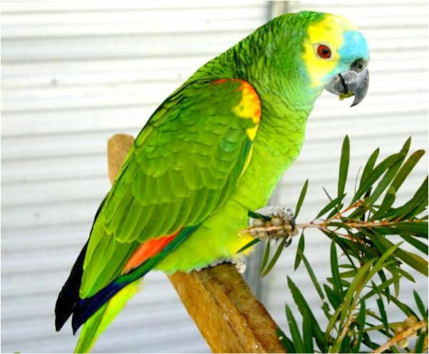 Blue Fronted Amazon Blue Fronted Amazon A Aestiva The Blue
