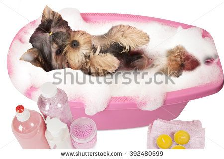 Yorkshire Terrier Puppy Bathing In A Bubble Bath Isolated On White