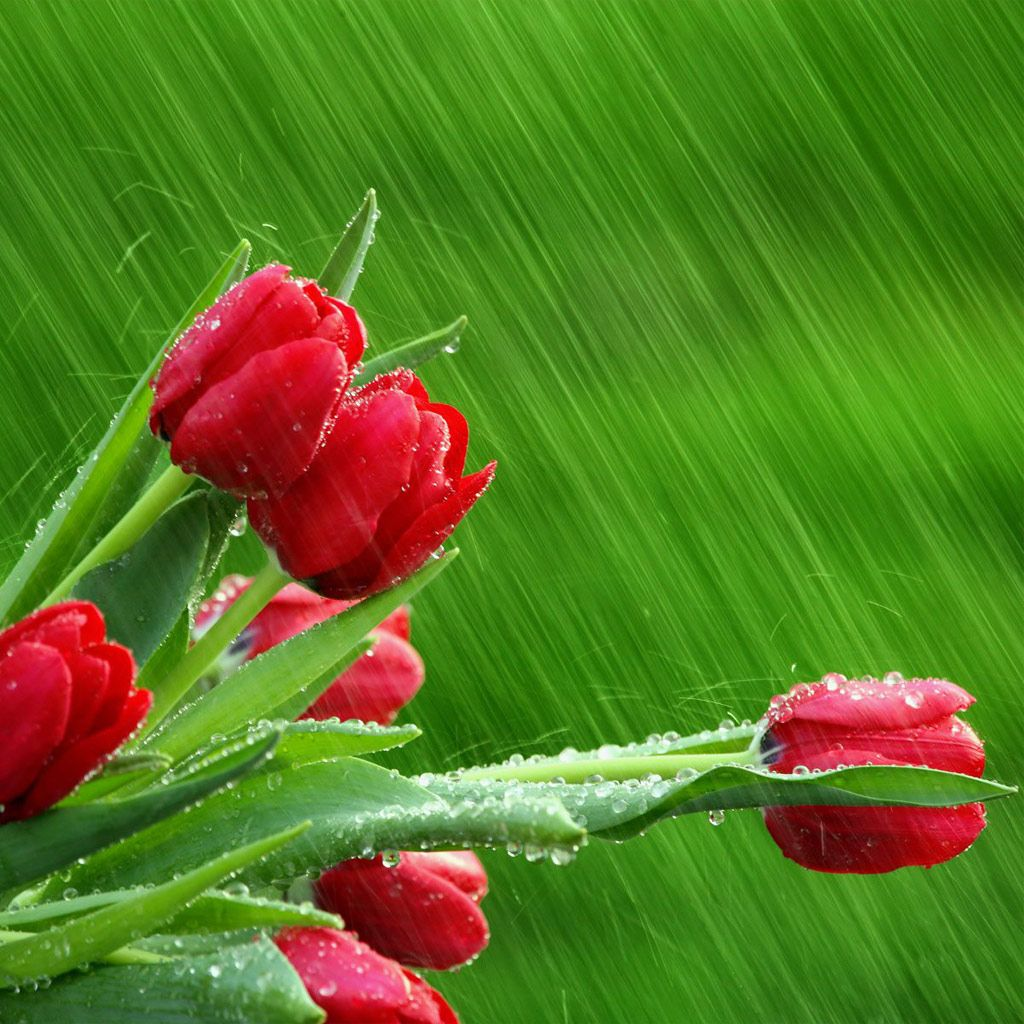 The Meaning Of Tulips Is Perfect Love When You Don T Have Any Doubt And Love Someone With Whole Heart Express With R Tulpen Blumen Rote Blumen Schone Blumen