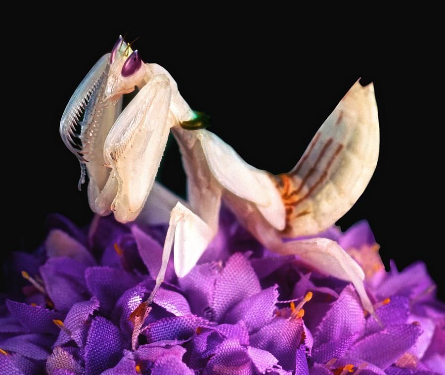 Orchid Female Mantis Hymenopus Coronatus 7 Of 10 By Leslie Crotty Orchid Mantis Orchids Praying Mantis