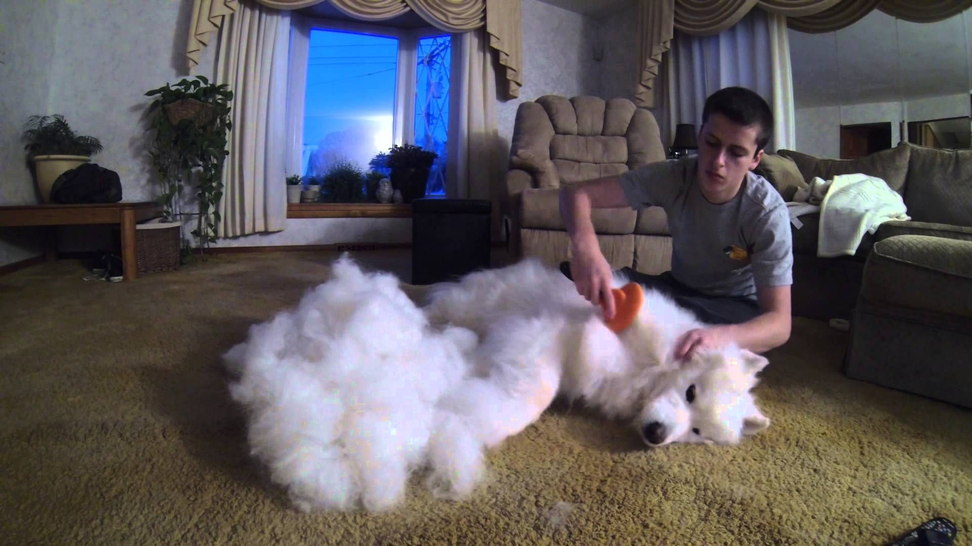 Thats A Lot Of Dog Hair Lol Samoyed Dogs Dog Hair