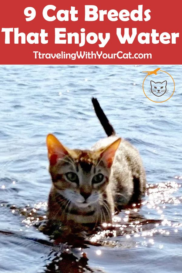 9 Cat Breeds That Enjoy Water Cat breeds, Swimming cats