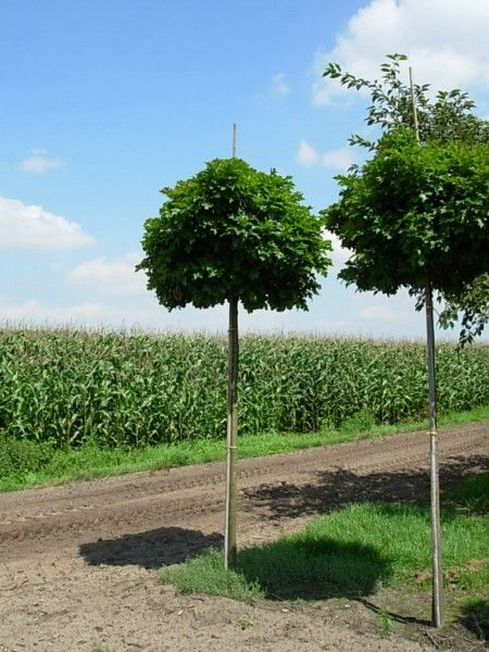 Kleine Bomen Voor In De Tuin.Mooie Bolvormige Kleine Boom Voor De Kleine Tuin Planten Zo