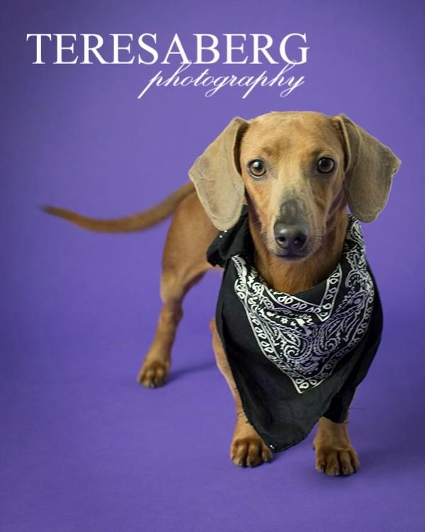 Adopt Belvedere On Dachshund Adoption Dachshund Rescue