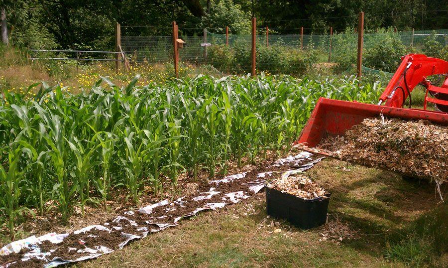 Back to Eden Garden Corn Crop | Back to Eden Gardens | Pinterest ...
