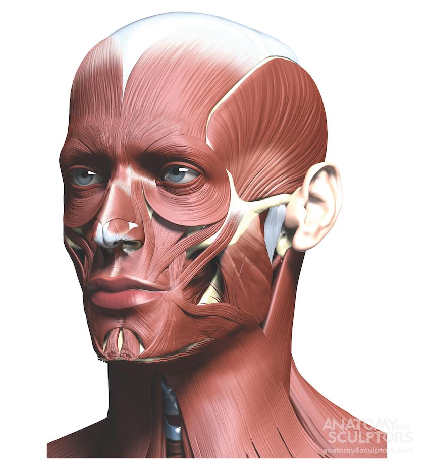 Anatomy Next - Anatomy - anatomy, key features, and proportion ...
